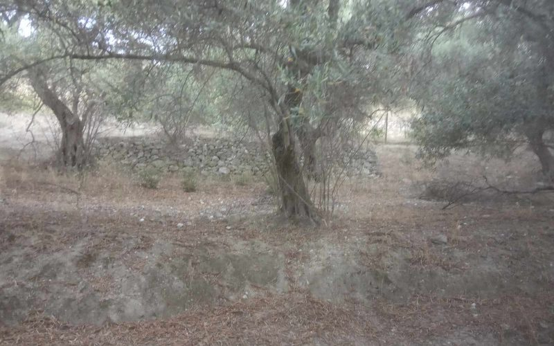Plot with building permit close to Armenopetra beach Olive trees