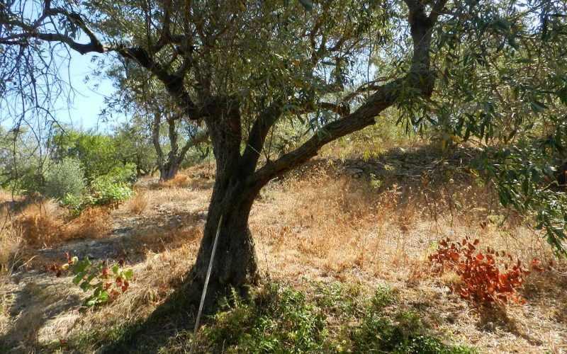Plot near Glossa rea with views to the Sea - Olive trees