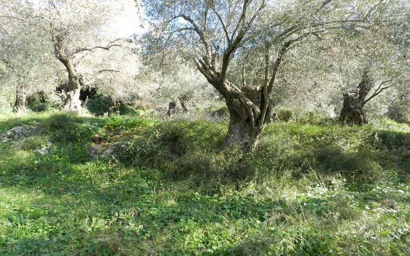 Land close to Skopelos waterfront with buildng permit Olives