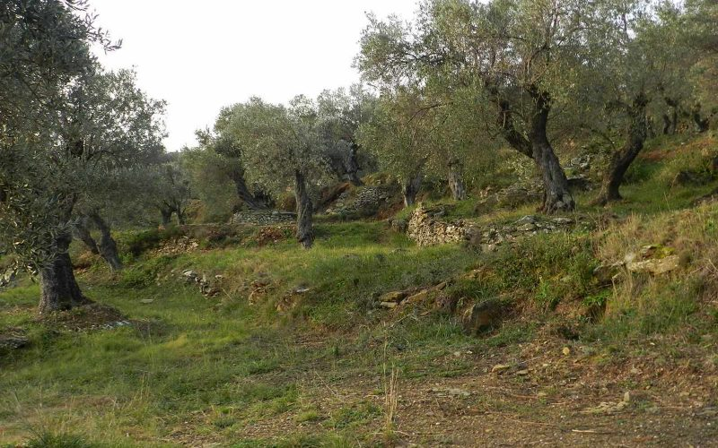 Spacious olive grove close to Skopelos town with views Ground