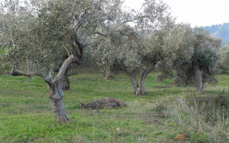 Spacious olive grove close to Skopelos town with views Olive trees 2
