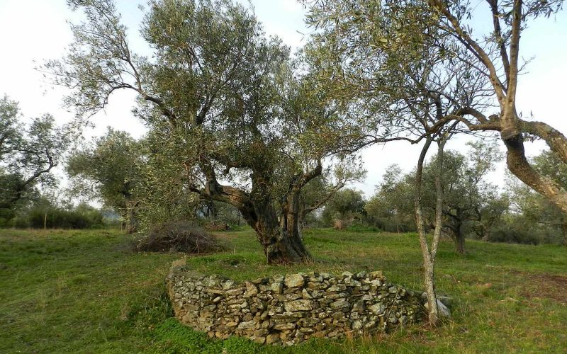Spacious olive grove close to Skopelos town with views Olive trees