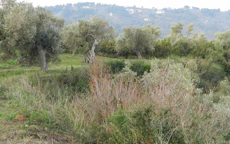 Spacious olive grove close to Skopelos town with views Vegetation