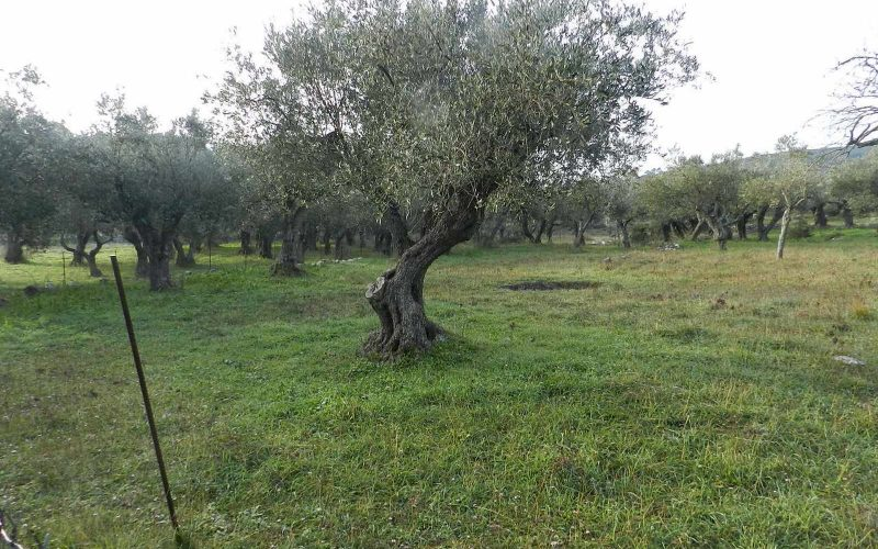 Spacious plot in the area of Alikias Olive trees