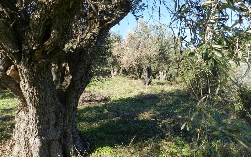 Unique plot in Agios Konstantinos with spactacular views Olive trees 2