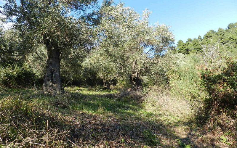 Unique plot in Agios Konstantinos with spactacular views Olive trees